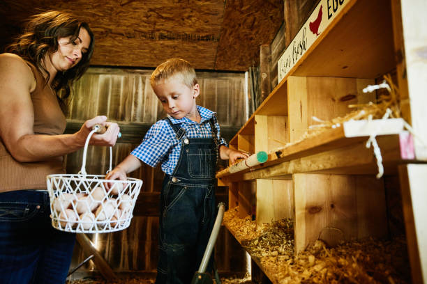 Medium wide shot of young boy gathering eggs in chicken coop on farm with mother