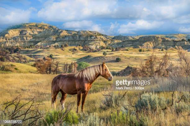 medora, united states - one animal stock pictures, royalty-free photos & images