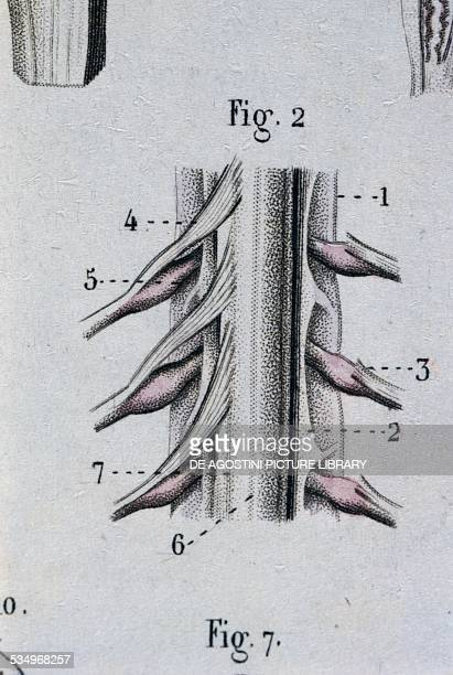 Medulla oblongata anatomical plate