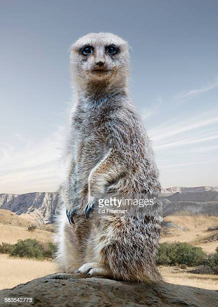 Meercat in Naturalistic Setting