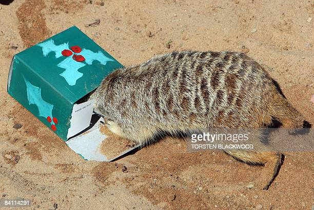 A meercat investigates an insectfilled Christmas package left in his desert themed habitat at Taronga Zoo in Sydney on December 23 2008 The Christmas...