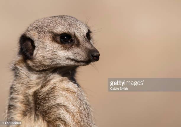 meercat - ミーアキャット ストックフォトと画像