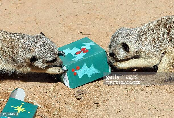 Meercats investigate an insectfilled Christmas package left in their desert themed habitat at Taronga Zoo in Sydney on December 23 2008 The Christmas...
