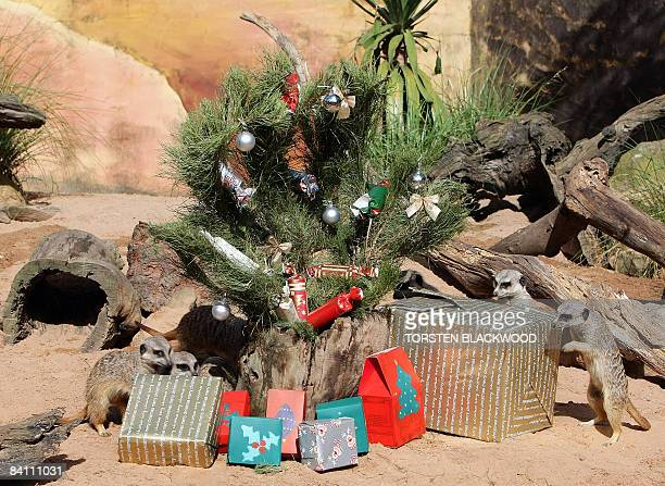 Meercats investigate insectfilled Christmas packages left in their desert themed habitat at Taronga Zoo in Sydney on December 23 2008 The Christmas...