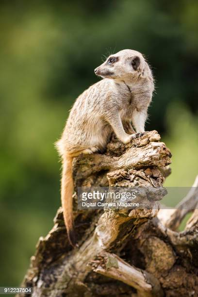 A meerkat at Marwell Zoo in Hampshire taken on August 4 2016