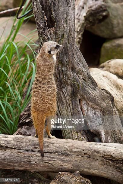Meerkat at Taronga Zoo.
