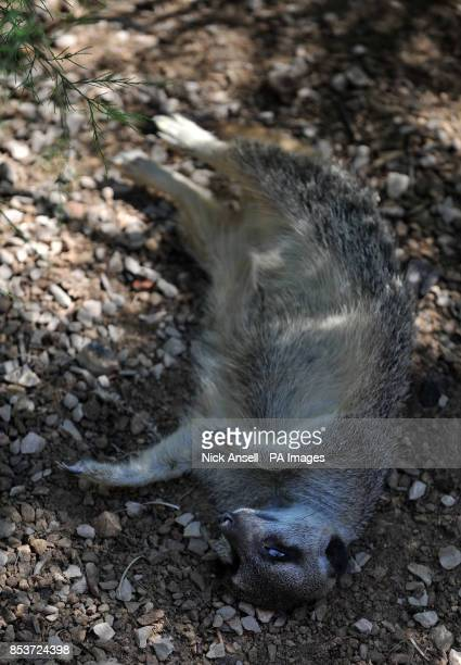 A Meerkat at ZSL London Zoo cools off by lying out flat in the shade as temperatures across many southern parts of England are expected to top 30C...
