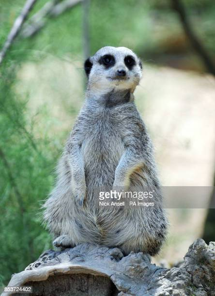 A Meerkat at ZSL London Zoo cools off by sitting in the shade as temperatures across many southern parts of England are expected to top 30C today...
