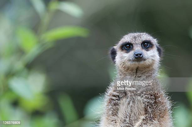meerkat (suricata suricatta), captive, norfolk, united kingdom - meerkat stock pictures, royalty-free photos & images