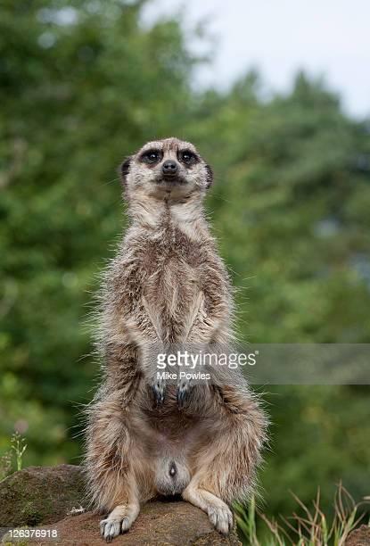meerkat (suricata suricatta), captive, norfolk, united kingdom - hairy bum stock pictures, royalty-free photos & images