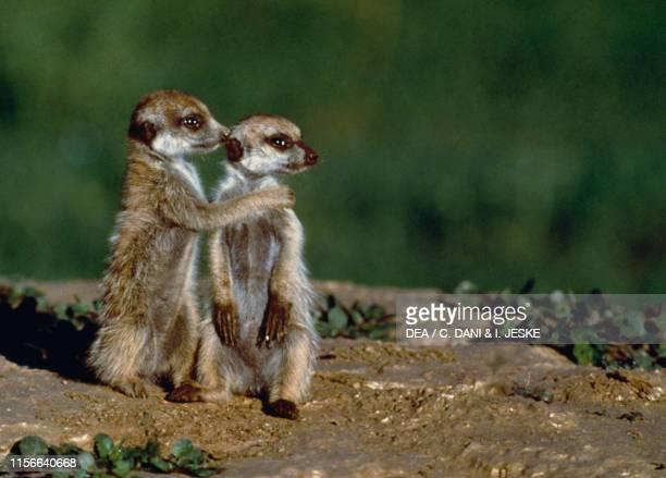 Meerkat couple .