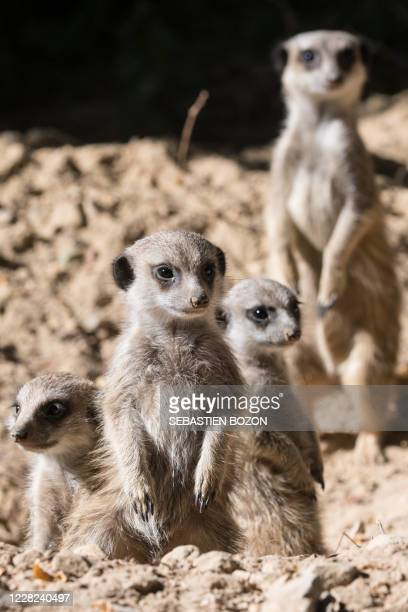 Meerkat cubs look on at the Mulhouse zoo, eastern France, on August 28, 2020.