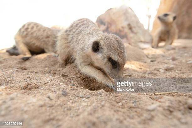 A meerkat digs in their enclosure at Sydney Zoo on February 24 2020 in Sydney Australia Sydney Zoo located at Bungarribee Park in Western Sydney is...