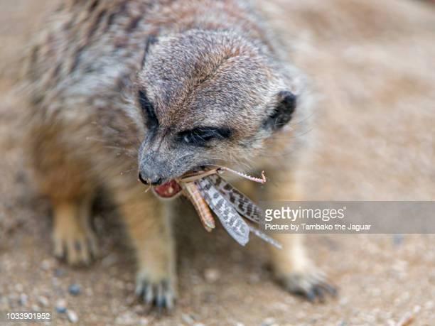 Meerkat eating a locust