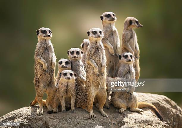 meerkat family on lookout - un animal fotografías e imágenes de stock