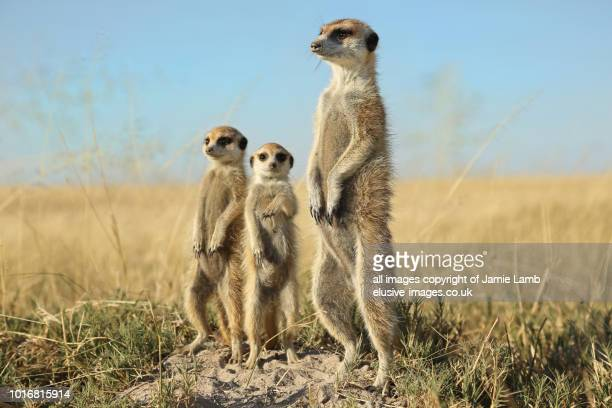meerkat family standing to attention, botswana - meerkat stock pictures, royalty-free photos & images