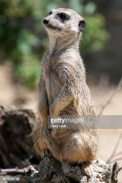 Meerkat (Suricata suricatta), female looking out, captive, Baden-Wuerttemberg, Germany
