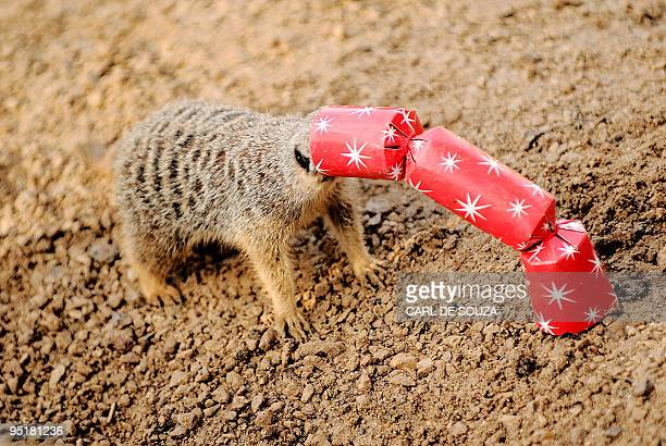 A meerkat gets its head stuck in cracker as it tries to reach meal worms and locusts inside it during a photocall at London Zoo London on December 16...
