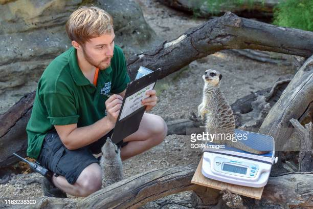A meerkat is being weighed during the Annual weighin at ZSL London Zoo in London