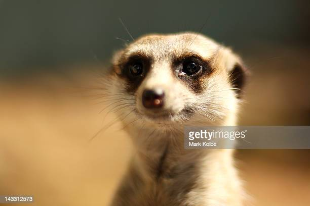A meerkat is seen at Taronga Western Plains Zoo on April 20 2012 in Dubbo Australia The popular 35 year old Dubbo zoo is set in 3 square km of...