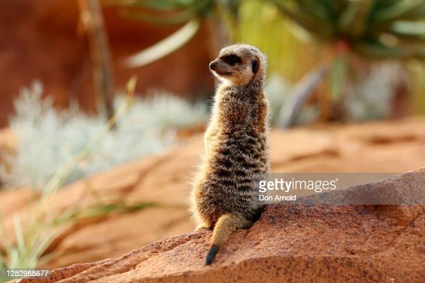 Meerkat is seen during the opening of African Savannah precinct at Taronga Zoo on June 28, 2020 in Sydney, Australia. The new African Savannah...