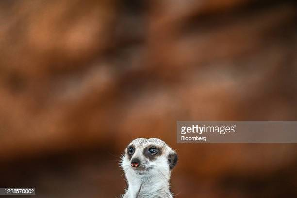 Meerkat is seen in its enclosure at Ocean Park during the theme park's reopening in Hong Kong, China, on Friday, Sept. 18, 2020. HongKongannounced...