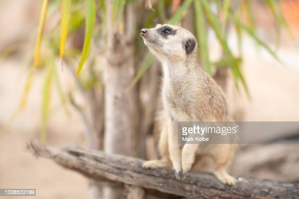 A meerkat is seen in their enclosure at Sydney Zoo on February 24 2020 in Sydney Australia Sydney Zoo located at Bungarribee Park in Western Sydney...