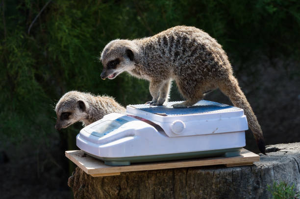 GBR: Annual Weigh-in At London Zoo