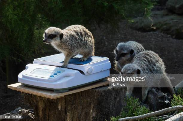 A meerkat is weighed on a scale during the annual weighin at ZSL London Zoo on 22 August 2019 in London England Every year keepers at the London Zoo...