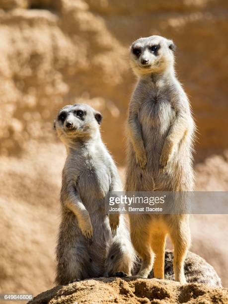 meerkat (suricata suricatta), juvenile on rock, alert. - meerkat stock pictures, royalty-free photos & images