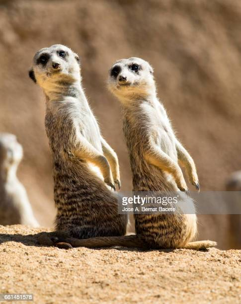 Meerkat (Suricata suricatta), juvenile, two, raised on two legs staring at the same site  alert.
