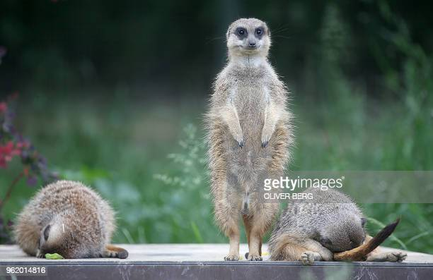 TOPSHOT A meerkat keeps guard as two of its comrades take a nap at the zoo in Cologne western Germany on May 24 2018 / Germany OUT