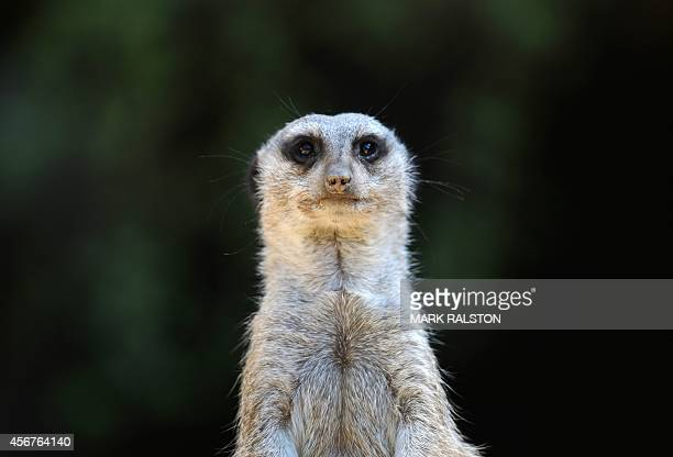 A Meerkat keeps watch at the Los Angeles Zoo as another heat wave hits Los Angeles on October 6 2014 The zoo located beside Los Angeles' Griffith...