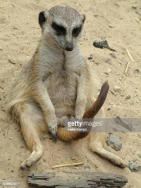 Meerkat looking at own tail