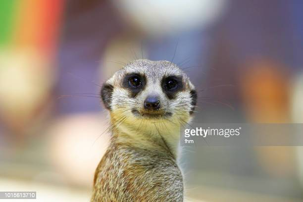 meerkat, looking at the camera - mongoose stock photos and pictures
