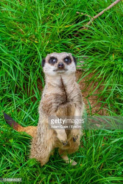 meerkat looking at the camera - meerkat stock pictures, royalty-free photos & images