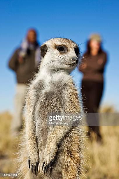 Meerkat looking away by couple, Botswana