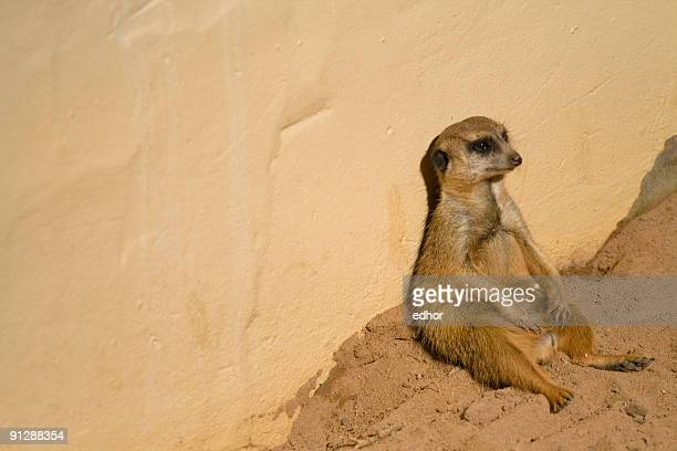 Meerkat looking bored