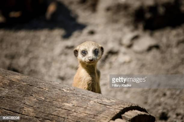 meerkat looking over log - ミーアキャット ストックフォトと画像