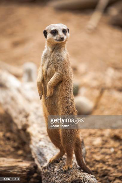 meerkat lookout - mongoose stock photos and pictures