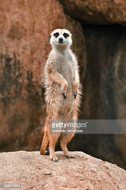 Meerkat looks so proud