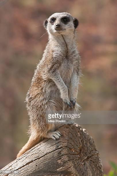 meerkat (suricata suricatta), norfolk, uk - hairy bum stock pictures, royalty-free photos & images