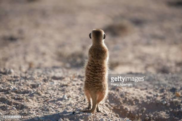 meerkat observes surroundings, auob wadi, kalahari, south afrika - afrika afrika stock pictures, royalty-free photos & images