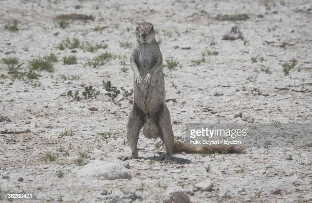 meerkat on field - male genitalia stock photos and pictures