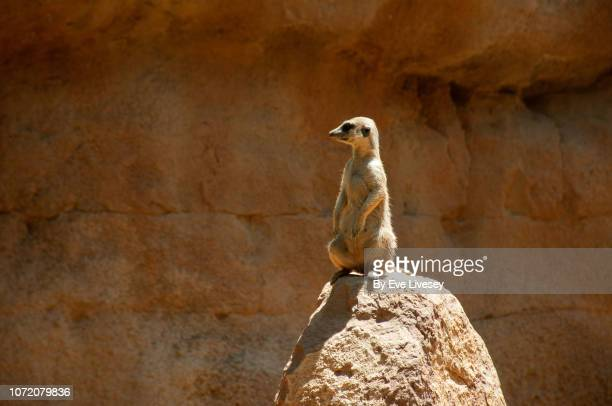 meerkat on lookout duty - mongoose stock photos and pictures