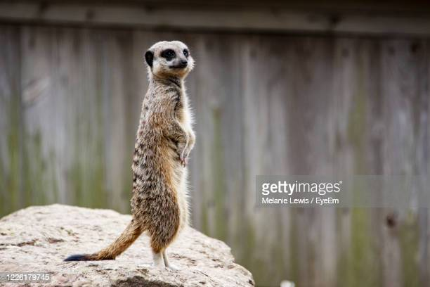 6 865 Meerkat Photos And Premium High Res Pictures Getty Images