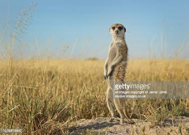meerkat on the lookout - meerkat stock pictures, royalty-free photos & images