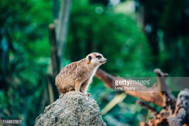 meerkat on the top of stone - christmas island stock pictures, royalty-free photos & images