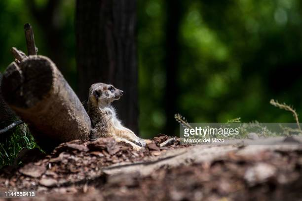 A meerkat or suricate pictured sunbathing in its enclosure at Faunia zoo park
