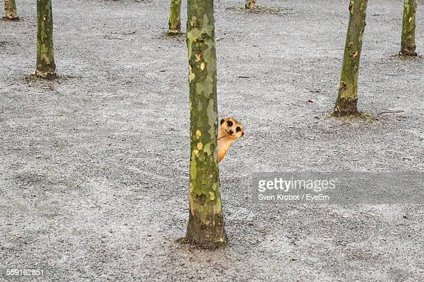 Meerkat Peeking Behind Tree Trunk
